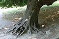 Parc des Buttes-Chaumont, tronc de marronnier penché 01.jpg