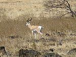 Parc national de Yangudi Rassa-Gazelle de Soemmerring (3).jpg
