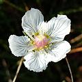 Parnassia palustris sl5.jpg