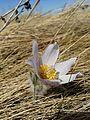 Pasque Flower - Kulm WMD (17210553852).jpg