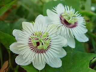 <i>Passiflora foetida</i> species of plant