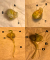 Pea Germination.png