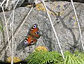 Peacock butterfly, Isle of Man - geograph.org.uk - 211329.jpg