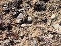 Pediocactus simpsonii in SW Idaho 4.jpg
