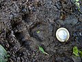 Pegada de onça parda (Puma concolor) na trilha Temimina. Jani Pereira (35).jpg