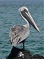 Pelican (6064102239).jpg