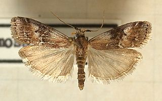 <i>Rhodophaea formosa</i> Species of moth