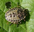 Pentatoma rufipes (Red-legged Shieldbug or Forest Bug) - nymph - Flickr - S. Rae.jpg