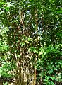 Pepohonan di semak belukar (18).JPG