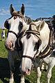 Percherons attelés mondial du cheval percheron 2011Cl J Weber26 (23456661773).jpg
