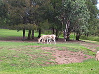 Persian Onagers Western Plains Zoo 2006.jpg