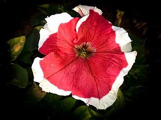 Petunia - Image: Petunia red