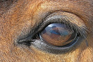Equine vision - The eye of a horse