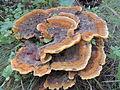 Phaeolus schweinitzii трутовик Швейница 04.JPG