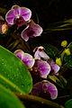 PhalaenopsisPairiDaiza.jpg