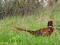 Pheasant - panoramio.jpg
