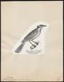 Philemon cyanotis - 1809-1845 - Print - Iconographia Zoologica - Special Collections University of Amsterdam - UBA01 IZ19200061.tif