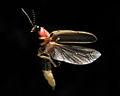 Photinus pyralis Firefly.jpg