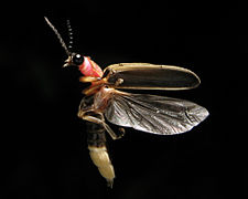 firefly insect at night