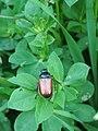 Phyllopertha horticola 136938284.jpg