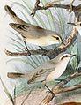 Phylloscopus neglectus 1889.jpg