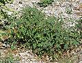 Physalis hederifolia var palmeri 4.jpg