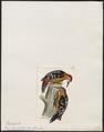 Picus hyperythrus - 1820-1860 - Print - Iconographia Zoologica - Special Collections University of Amsterdam - UBA01 IZ18700075.tif