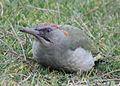 Picus viridis sharpei 031.jpg