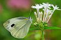 Pieris canidia 20131109.jpg