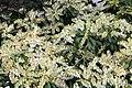Pieris japonica Purity 2zz.jpg