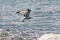 PikiWiki Israel 14725 Seagull.jpg