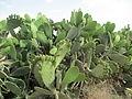 PikiWiki Israel 32011 The Orly Cactus Pear Farm.JPG