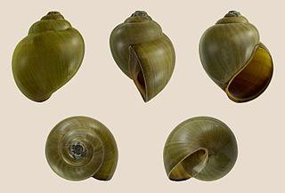 <i>Pila</i> (gastropod) genus of molluscs