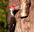 Piliated Woodpecker by Bonnie Gruenberg.jpg