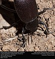 Pinacate beetle performing characteristic headstand to ward of predators (Tenebrionidae, Eleodes sp.) (25697120420).jpg