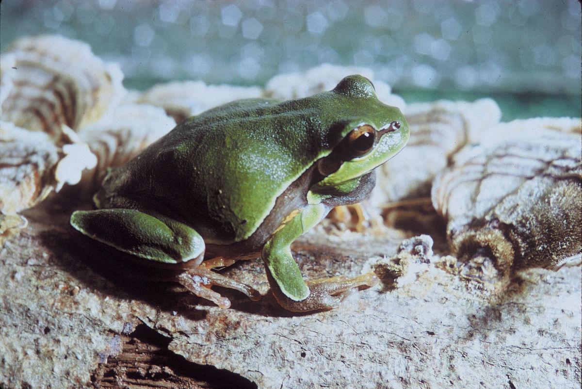 Pine Barrens tree frog - Wikipedia