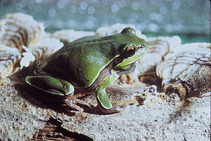 A pine barrens tree frog (Hyla andersonii)