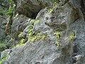 Pinguicula longifolia 1.JPG