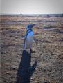 Pinguino de Magallanes.png