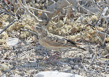 Pink-billed Lark (Spizocorys conirostris) (8077320401).jpg