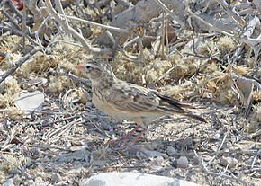 Description de l'image Pink-billed Lark (Spizocorys conirostris) (8077320401).jpg.