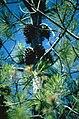 Pinus attenuata BLM5.jpg