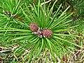 Pinus contorta var bolanderi foliage immature cones.jpg