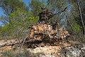 Pinus halepensis (uprooted), Murviel-lès-Béziers 01.jpg