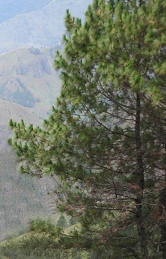 Pinus merkusii - Image: Pinus merkusii Toba