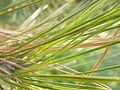 Pinus nigra (1111) 10.JPG
