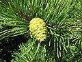 Pinus rigida cone Linville.jpg
