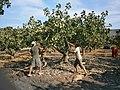 Pistach harvest - panoramio.jpg