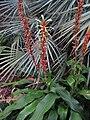 Pitcairnia maidifolia (6262809683).jpg