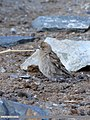 Plain Mountain Finch (Leucosticte nemoricola) (48700764398).jpg